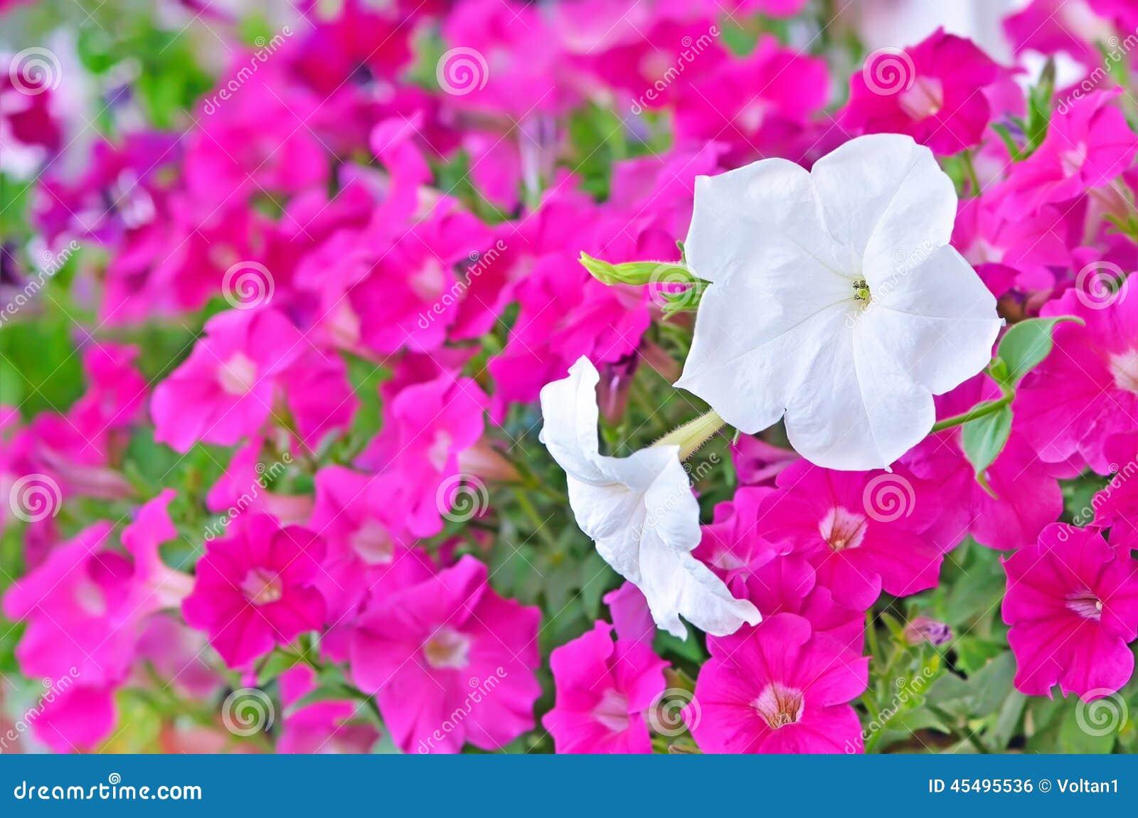 桃红色和白色喇叭花花