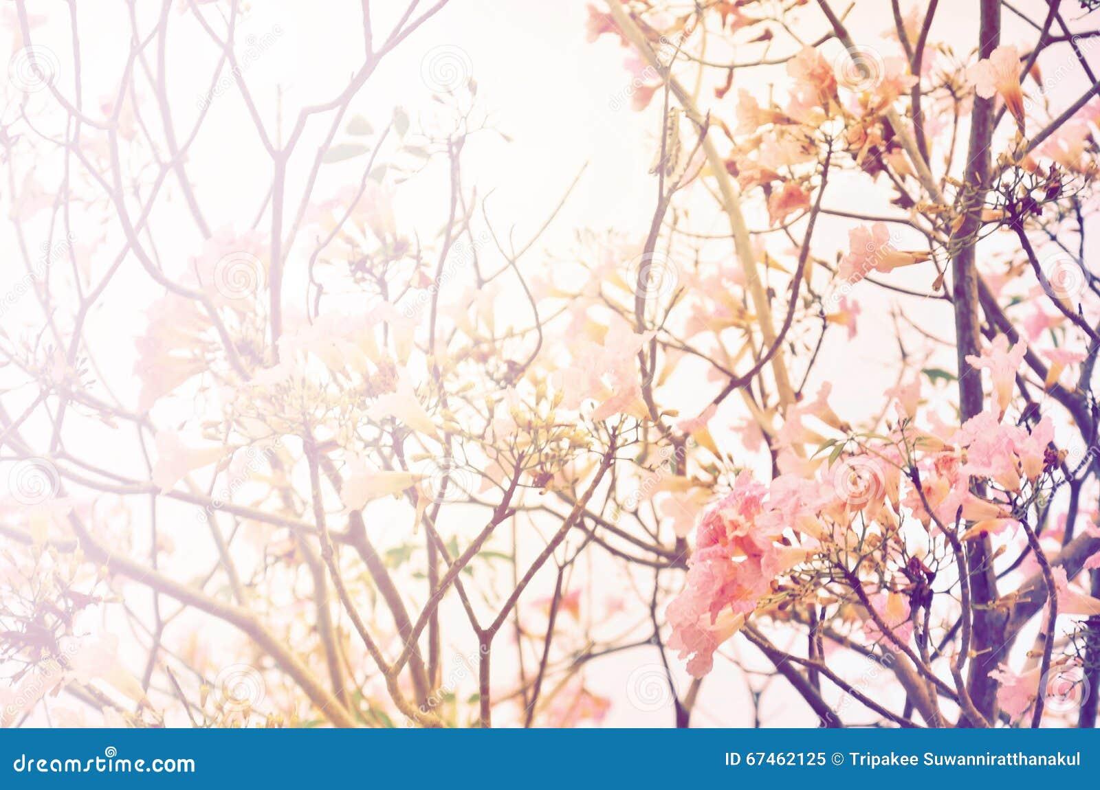 桃红色喇叭树花开花