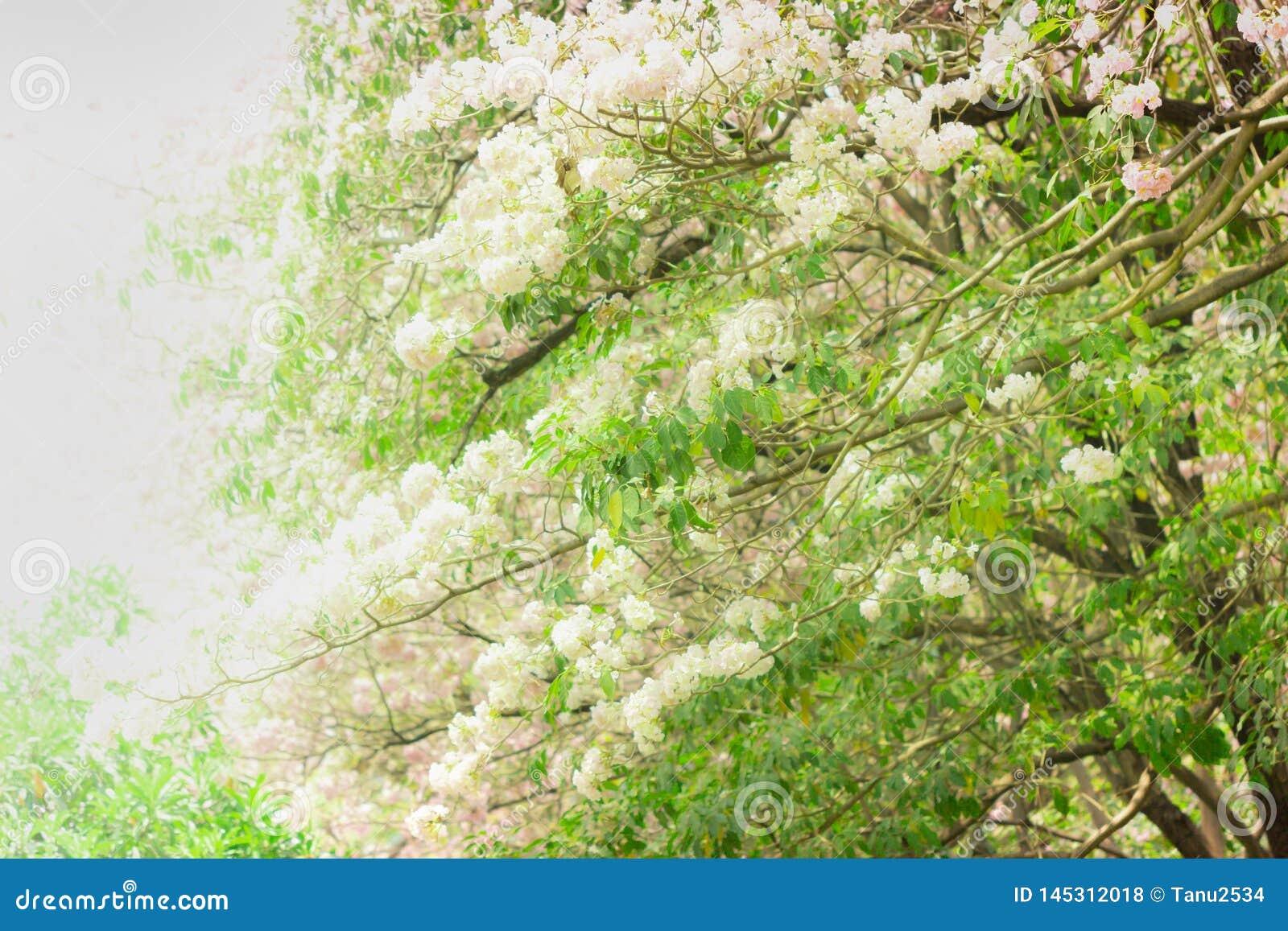 桃红色喇叭树 花是开花美好