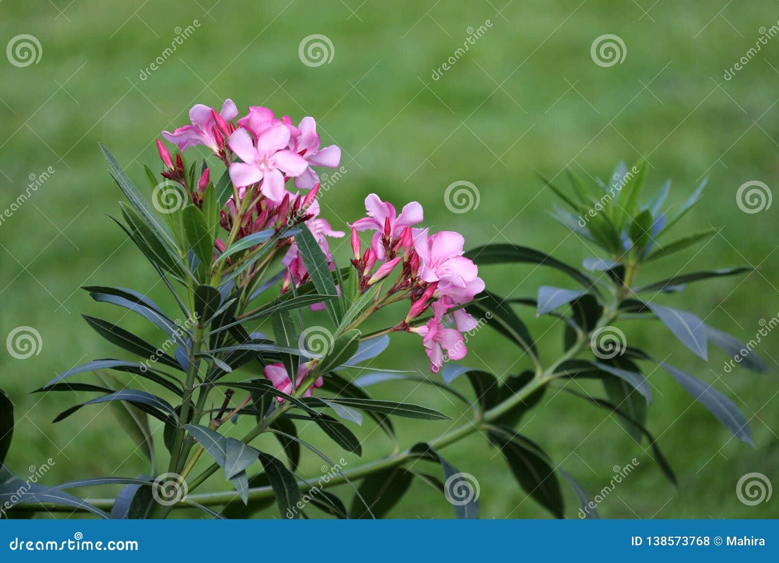 桃红色夹竹桃花和叶子