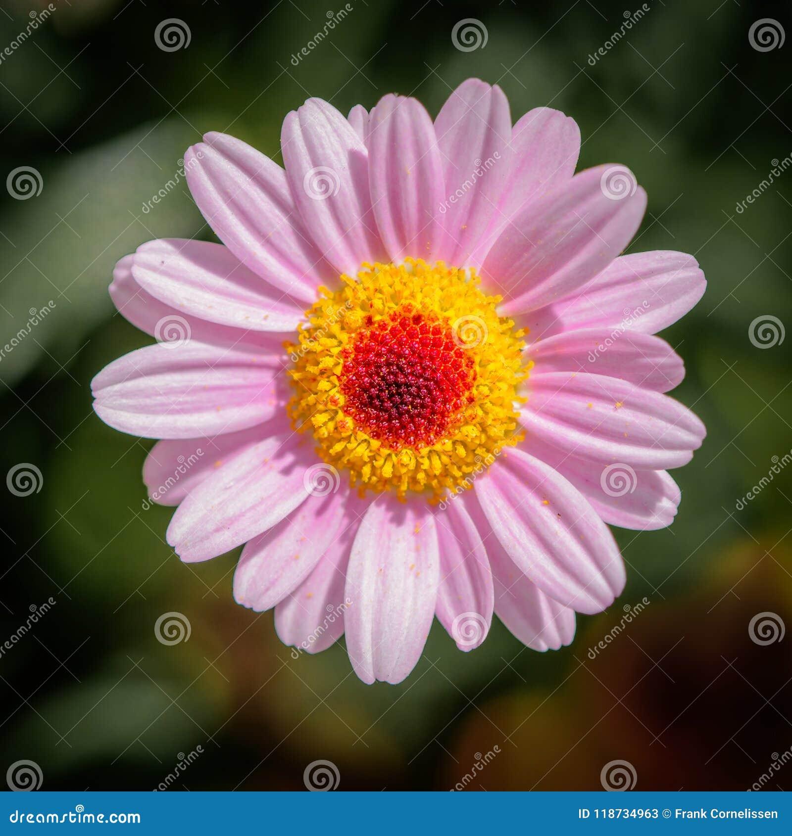 桃红色延命菊,充分地开花
