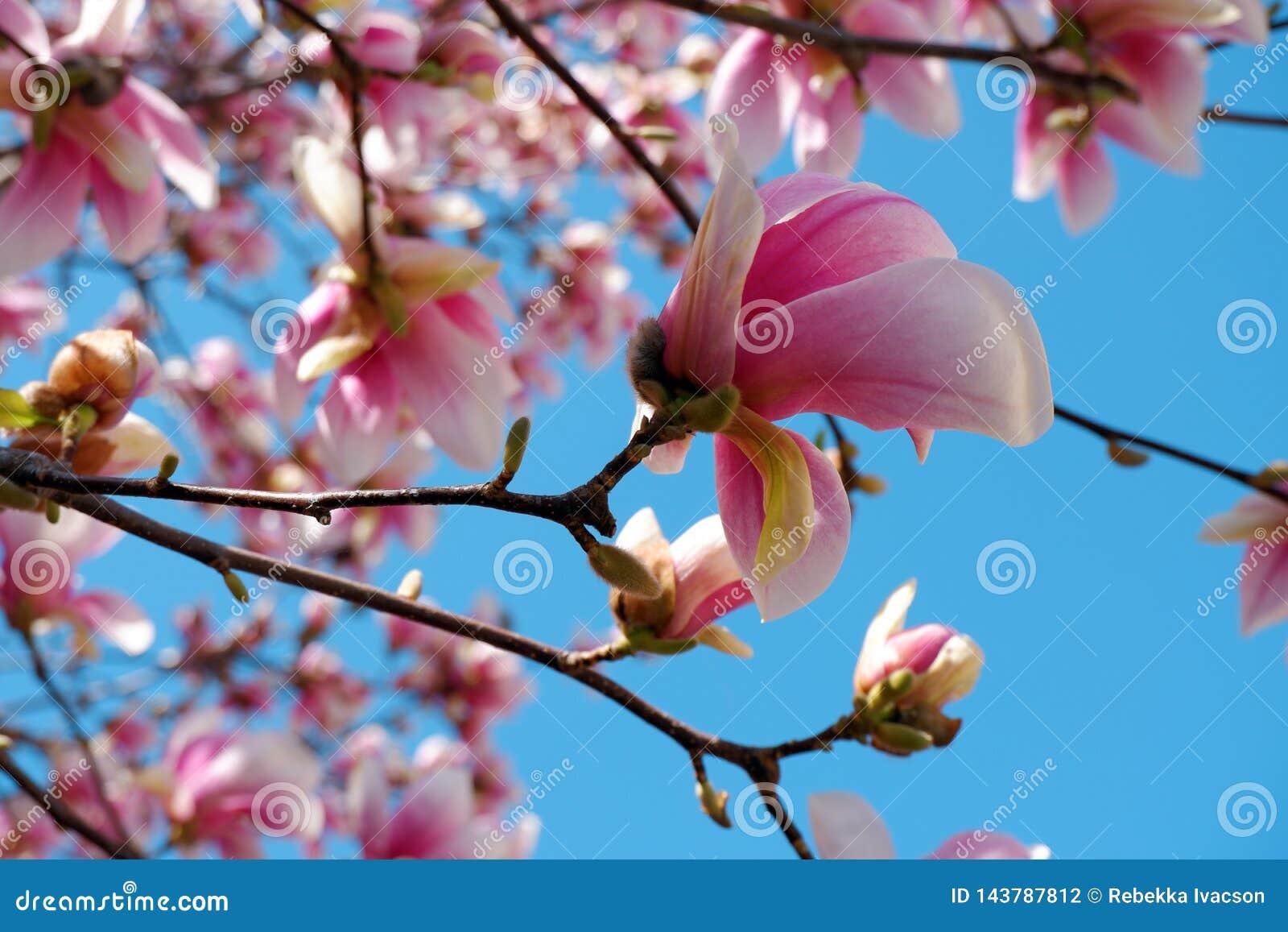 桃红色木兰花接近的看法在天空蔚蓝背景进展