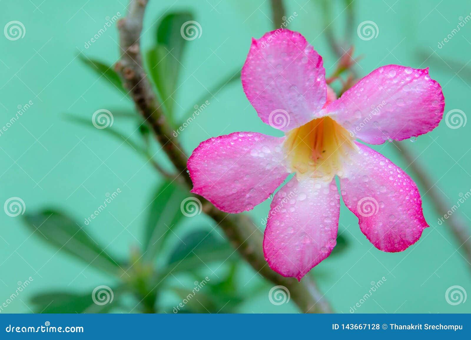 桃红色杜娟花背景在花园,桃红色花里