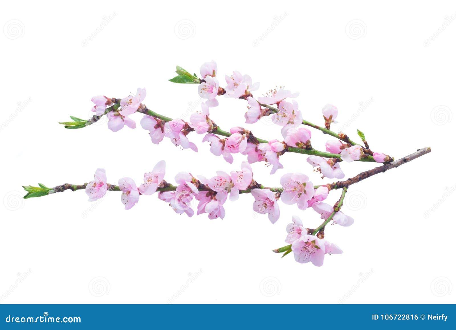 桃红色樱花