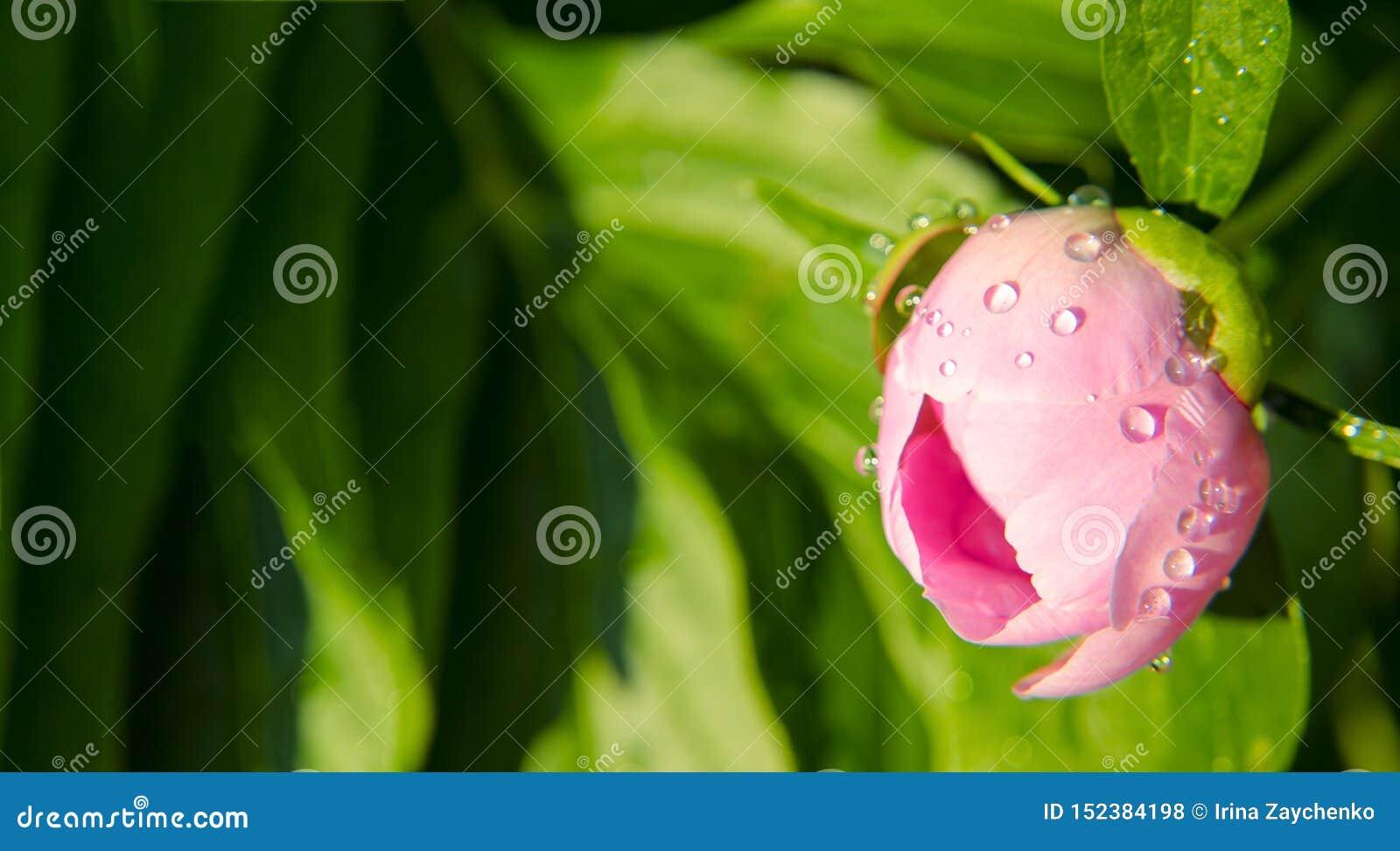 桃红色牡丹花的芽的特写镜头  在花蕾的水滴 ??