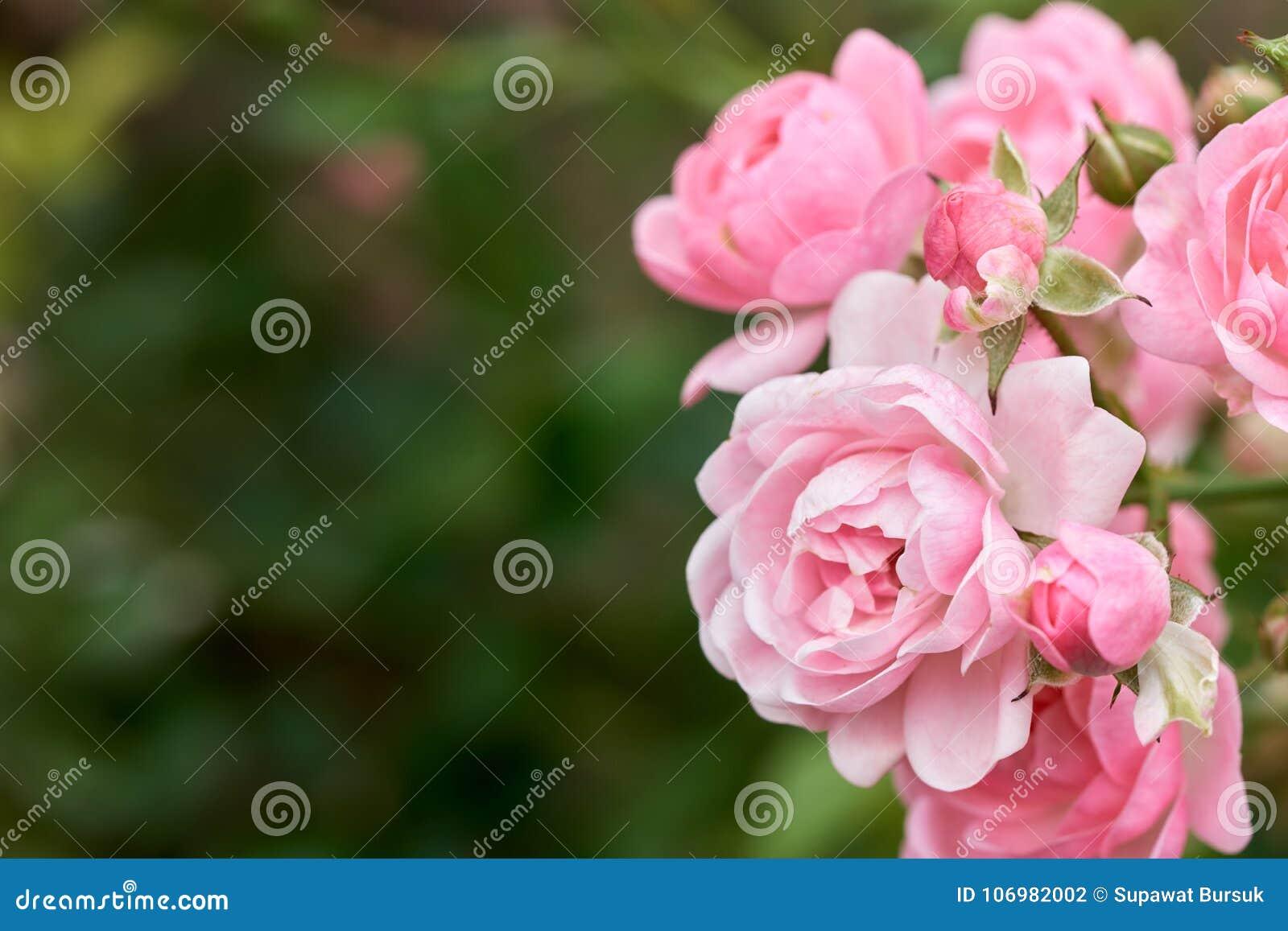 桃红色玫瑰在一个热带庭院里开花有自然绿色弄脏的背景 代表言情罗斯爱