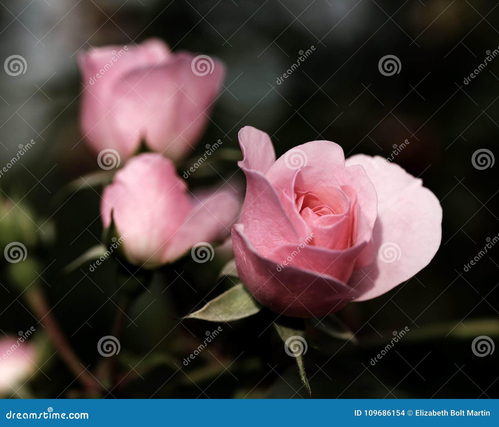 桃红色玫瑰,有一点成为不饱和为作用