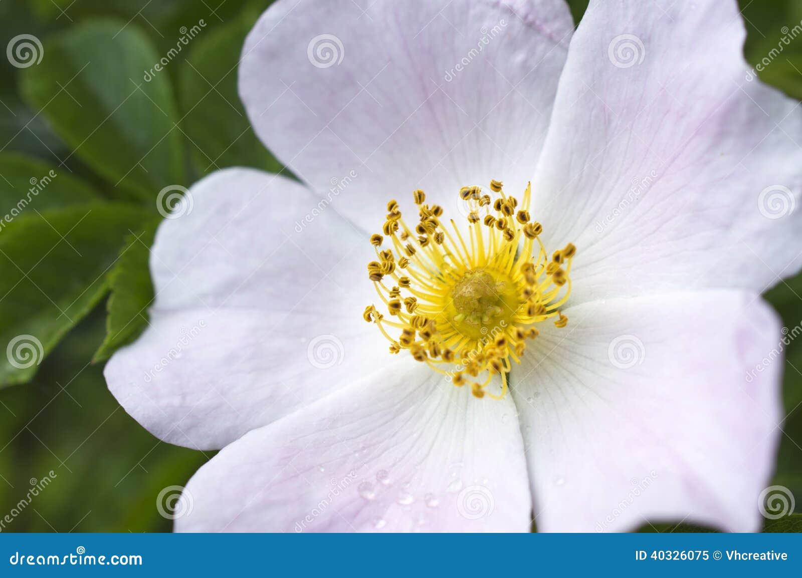 桃红色白的狂放的玫瑰色花