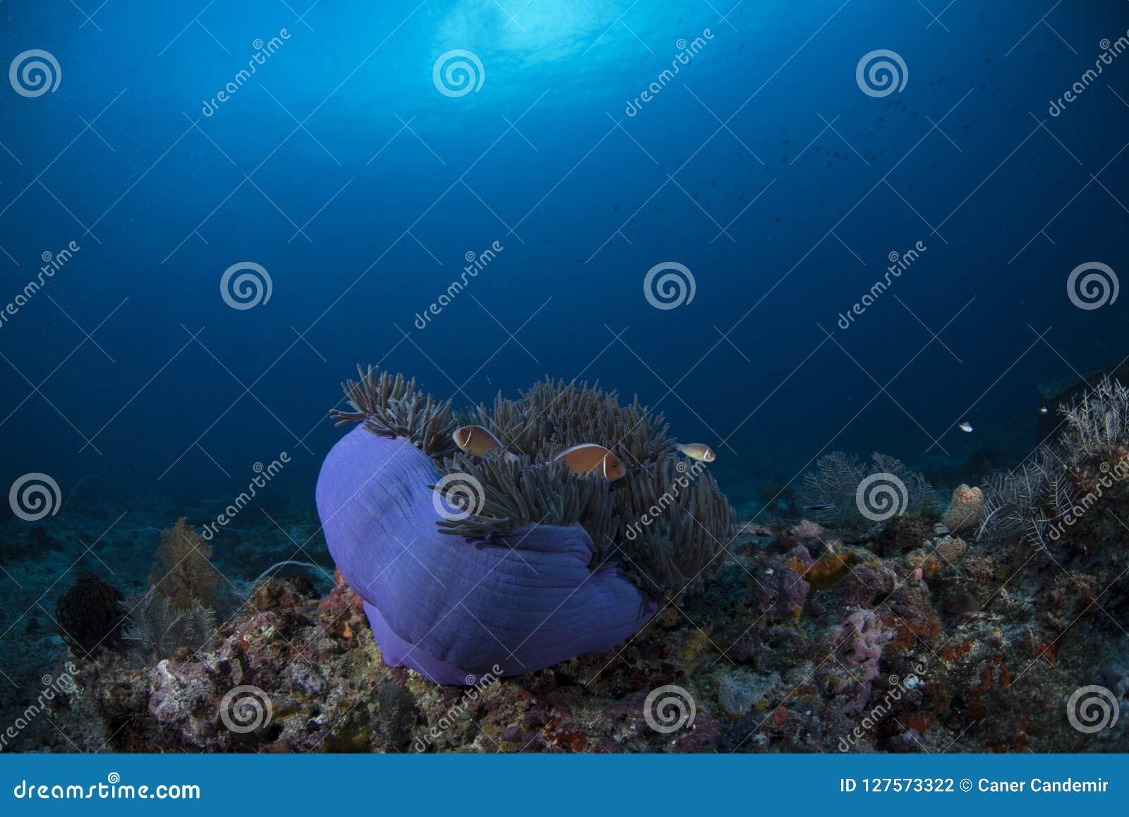 桃红色臭鼬Clownfish双锯鱼Perideraion有蓝色背景