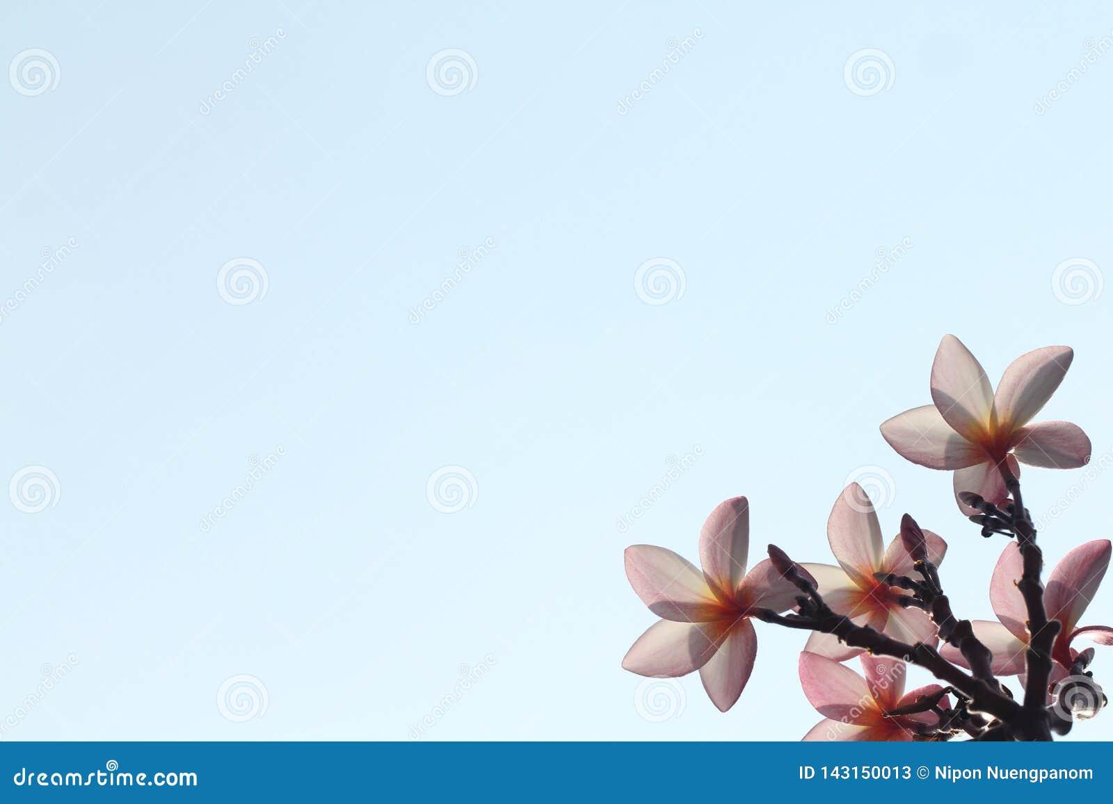 桃红色花后部视图在天空蔚蓝背景的没有云彩