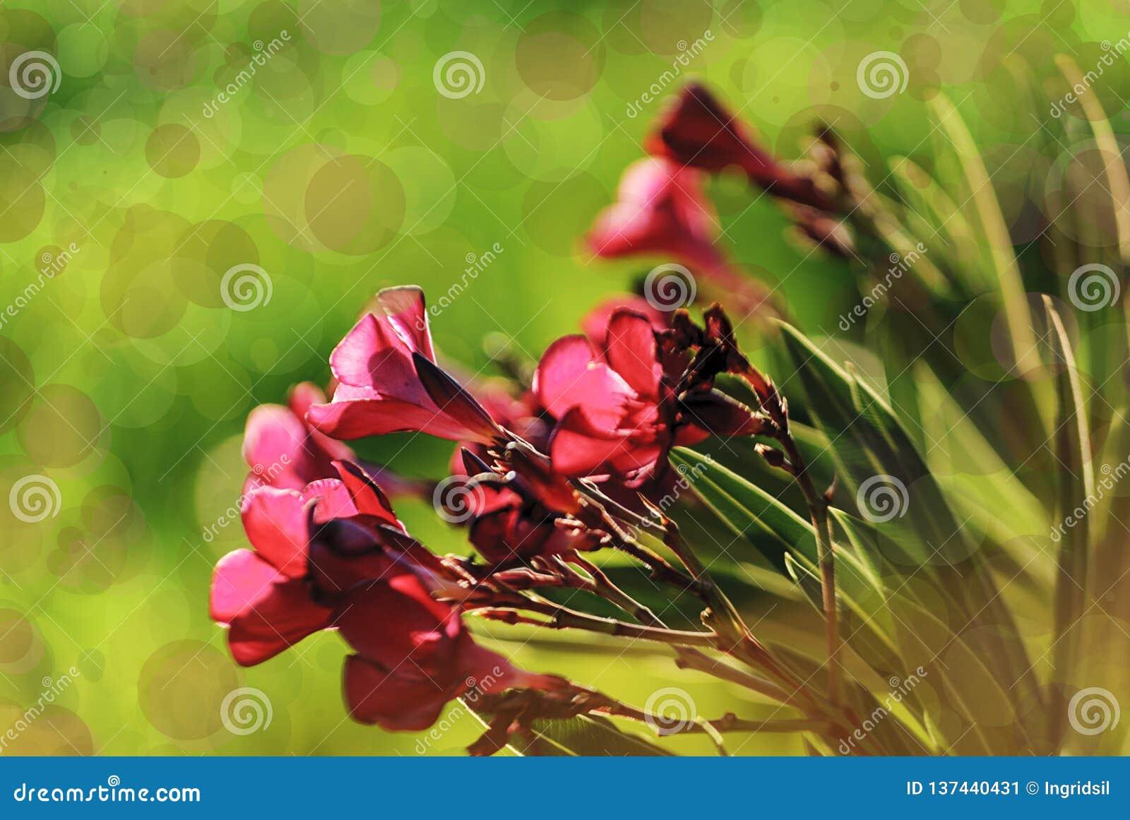 桃红色花特写镜头在日落的 Bokeh作用 夹竹桃夹竹桃