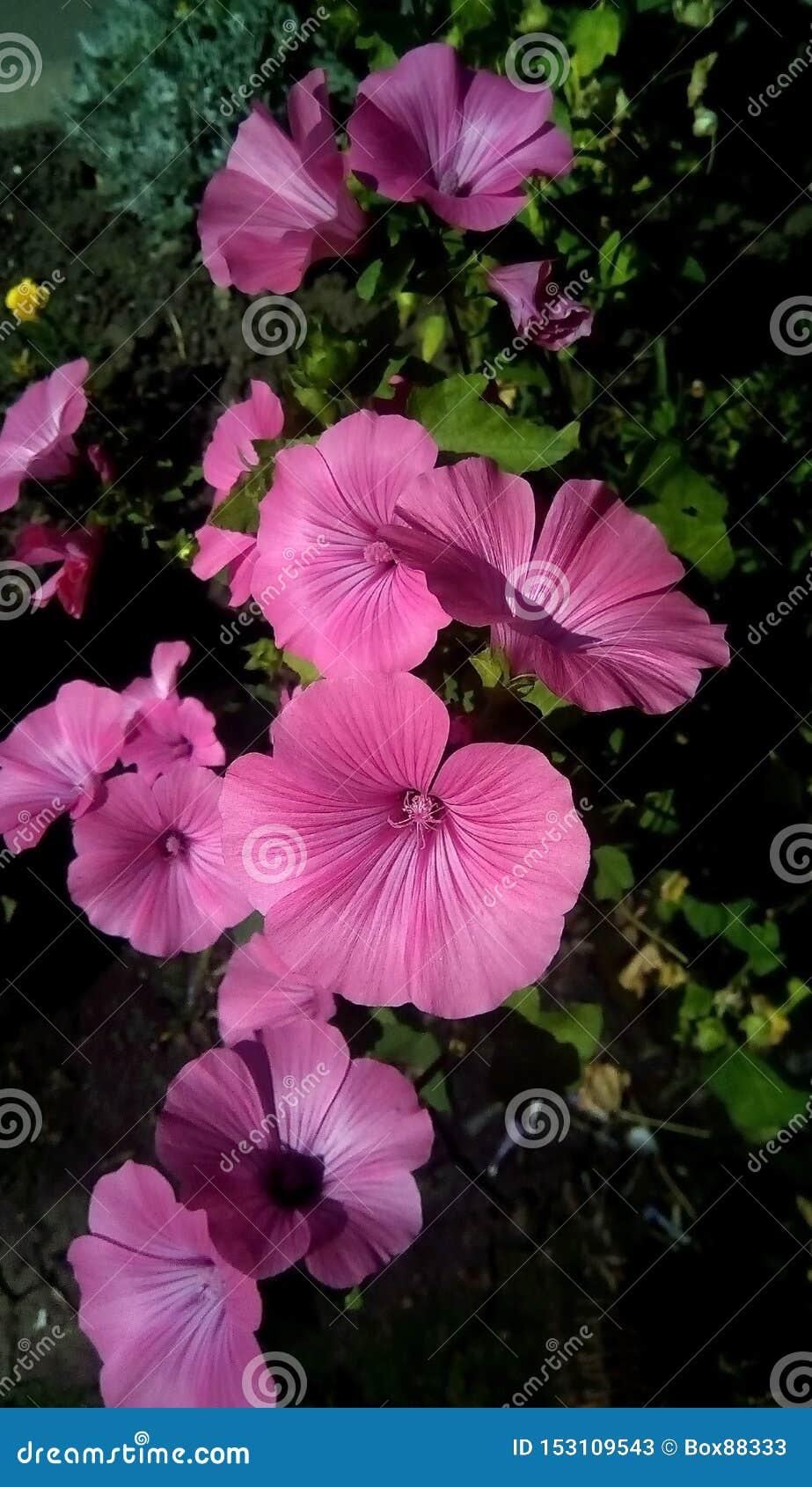 桃红色花特写镜头在绿色叶子背景的  以留声机的形式美丽的花