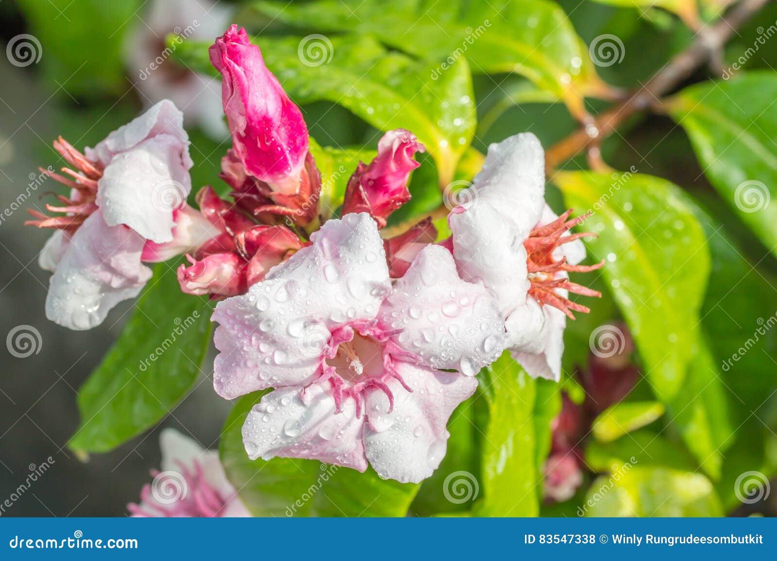 桃红色花,上升的夹竹桃, Strophanthus gratus墙壁 & Ho