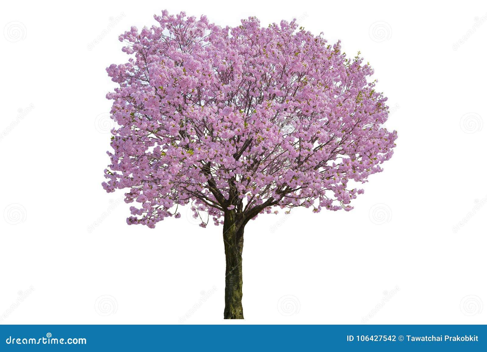 桃红色花,在白色背景隔绝的樱花树