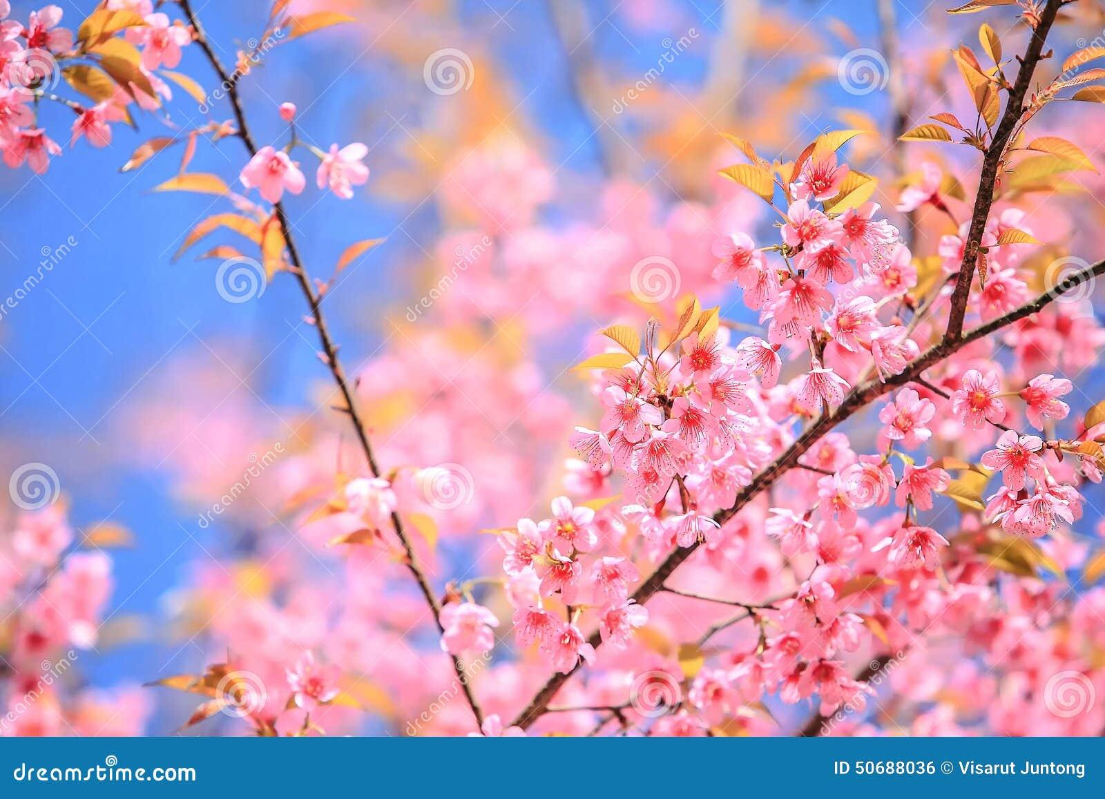 Download 桃红色花 库存照片. 图片 包括有 墙纸, 旅行, 横向, 樱桃, 庭院, 喜马拉雅, 结构树, 云彩, 粉红色 - 50688036