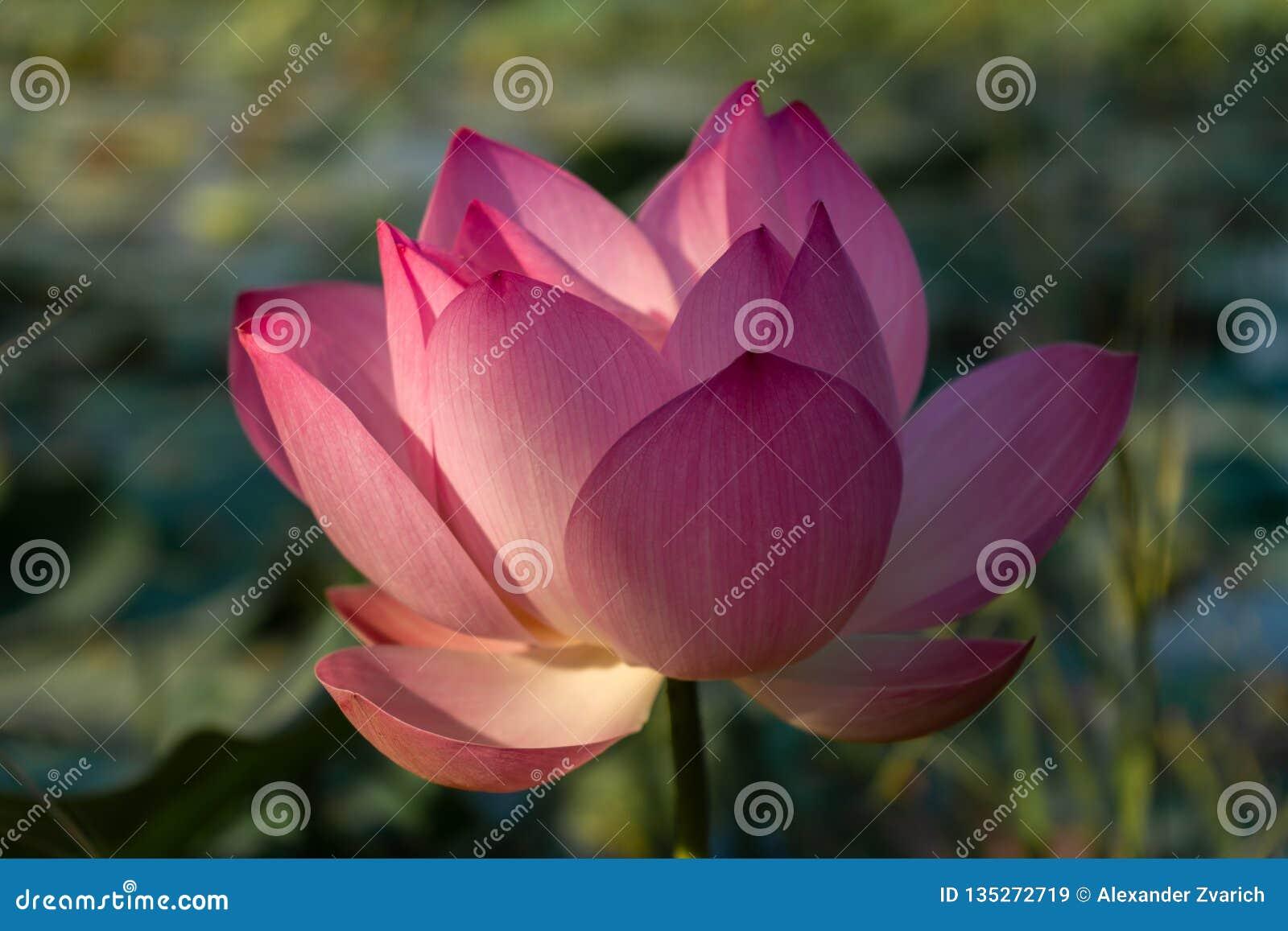 桃红色莲花在柬埔寨的池塘