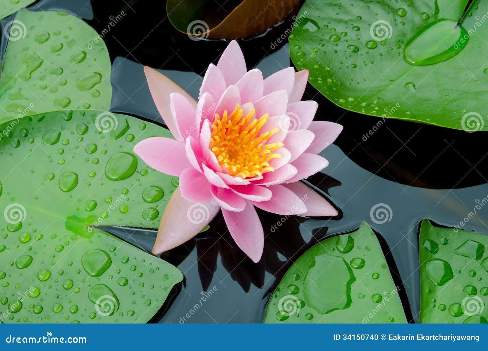 桃红色莲花