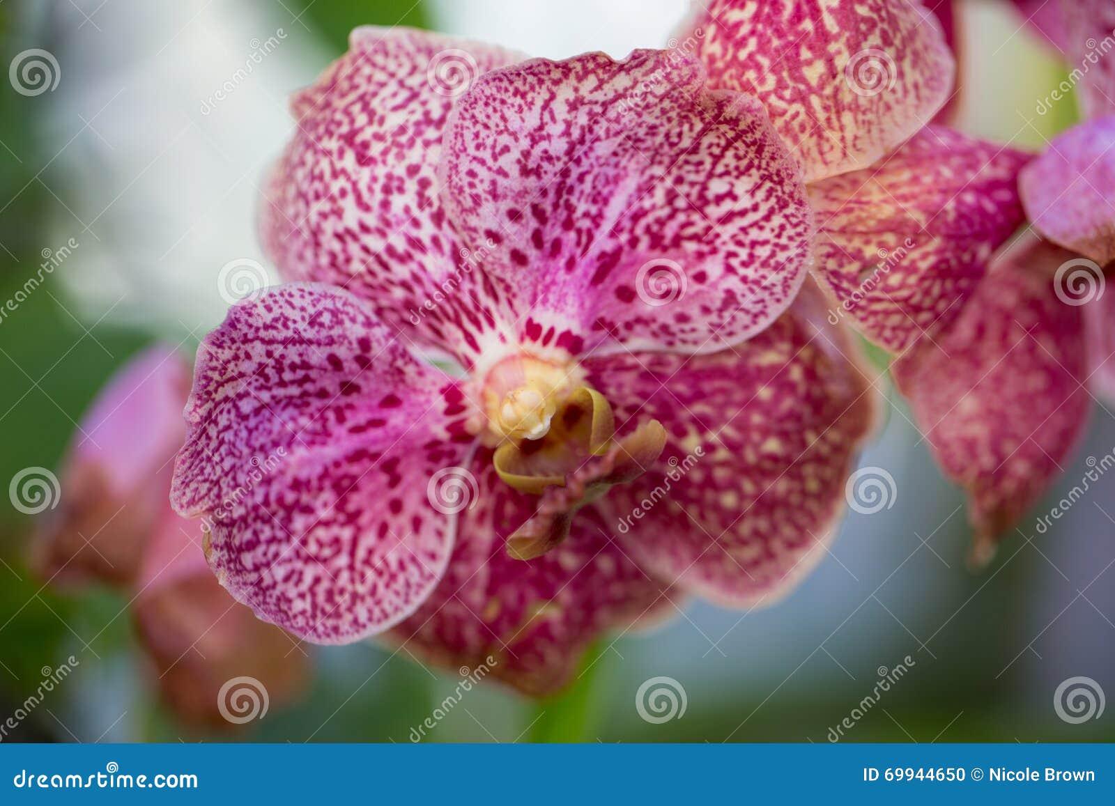 桃红色被察觉的兰花