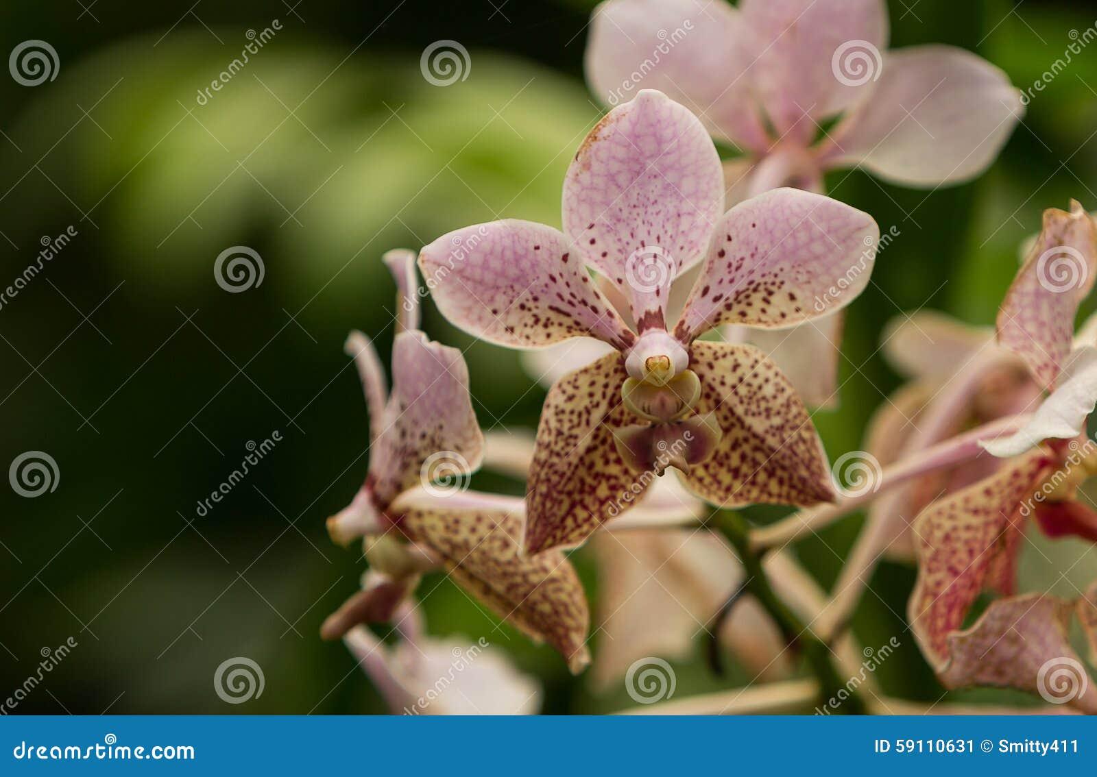 桃红色被察觉的阿兰达兰花,阿兰达omyai