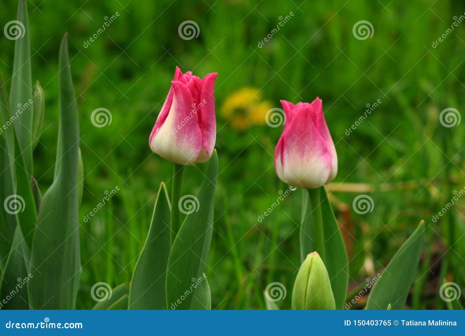 桃红色郁金香在庭院,两郁金香里开花