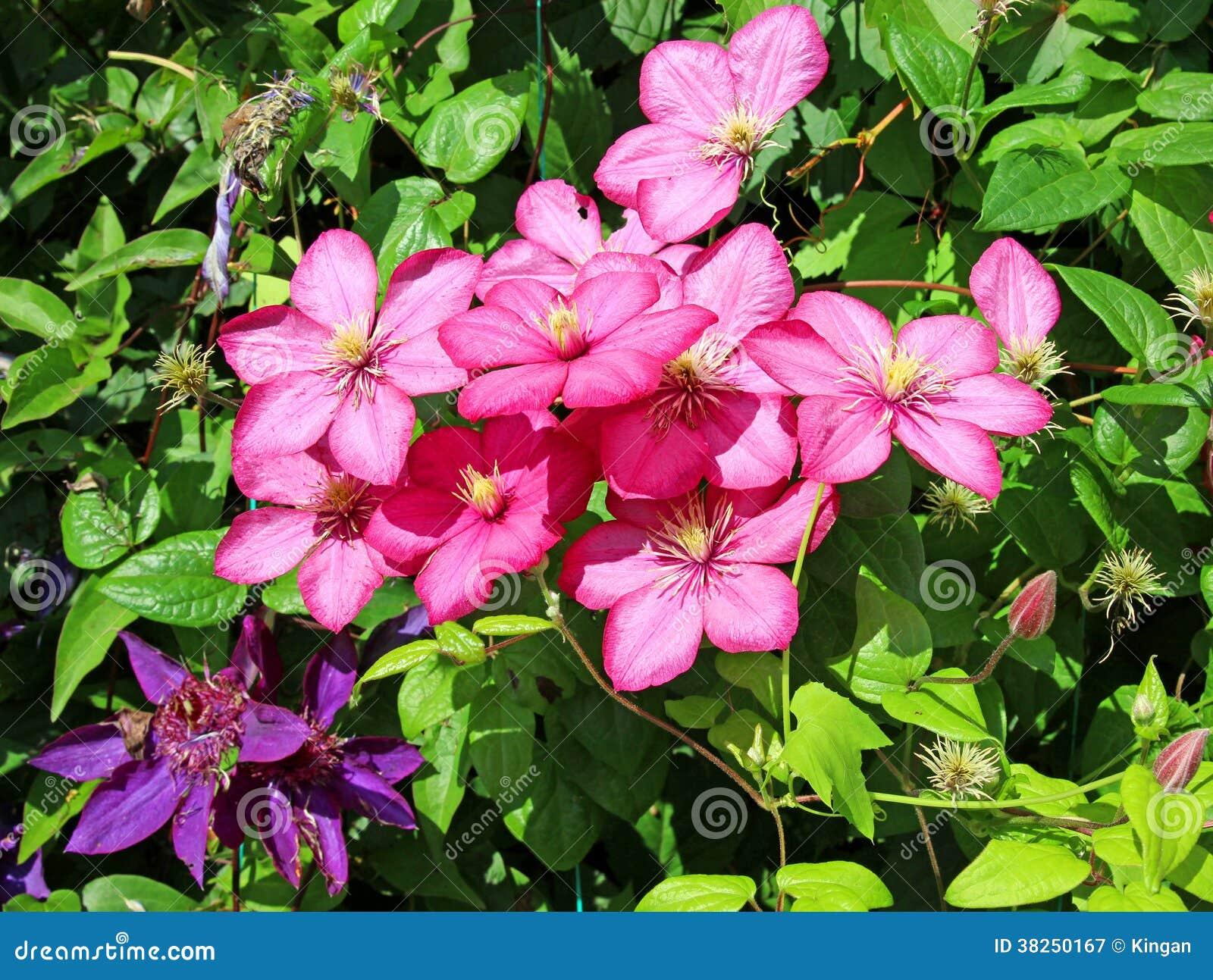 桃红色铁线莲属几朵花