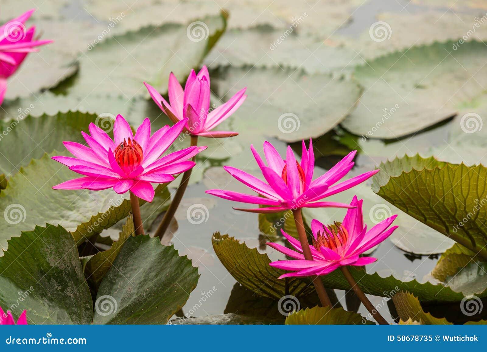 Download 桃红色颜色新鲜的莲花开花 库存图片. 图片 包括有 百合, 对象, beauvoir, 庭院, bossies - 50678735