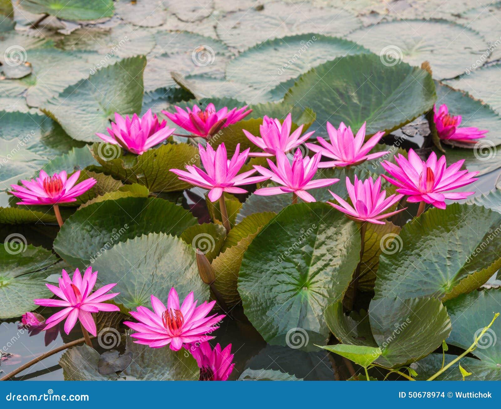 Download 桃红色颜色新鲜的莲花开花 库存照片. 图片 包括有 绿色, beautifuler, 对象, 粉红色, 装饰 - 50678974