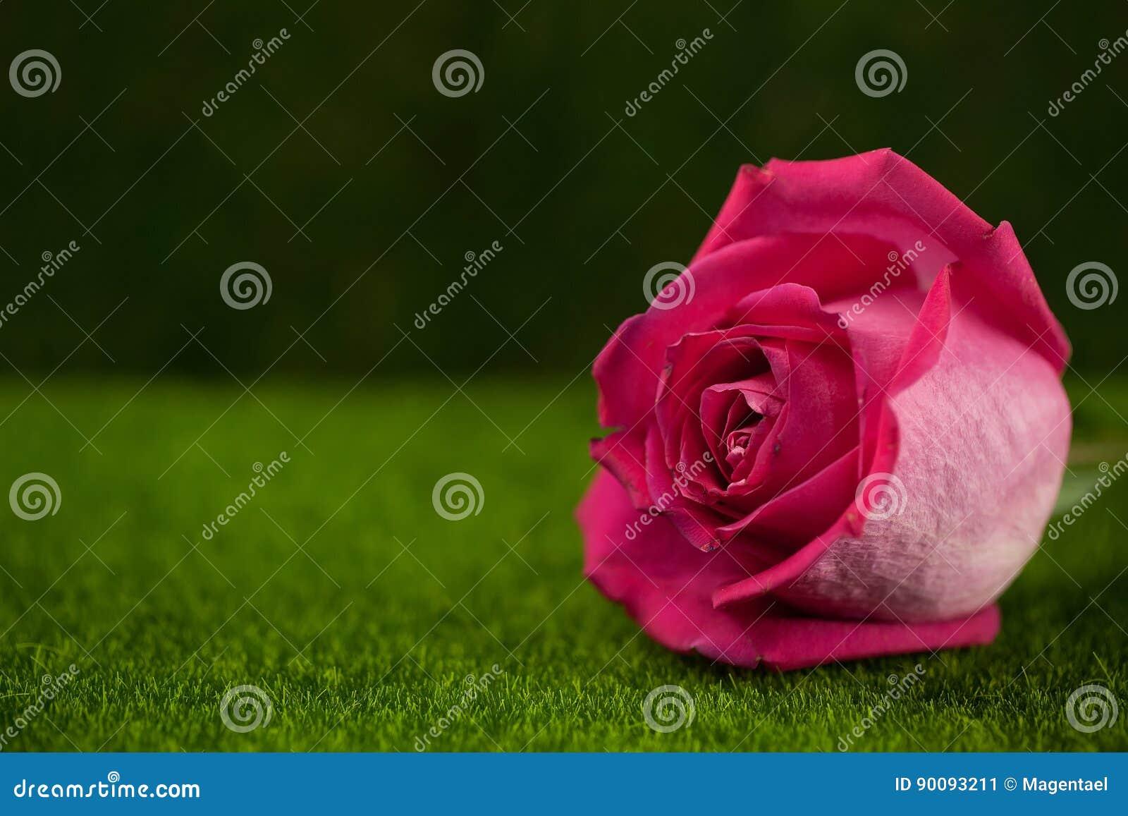 桃红色颜色谎言的罗斯