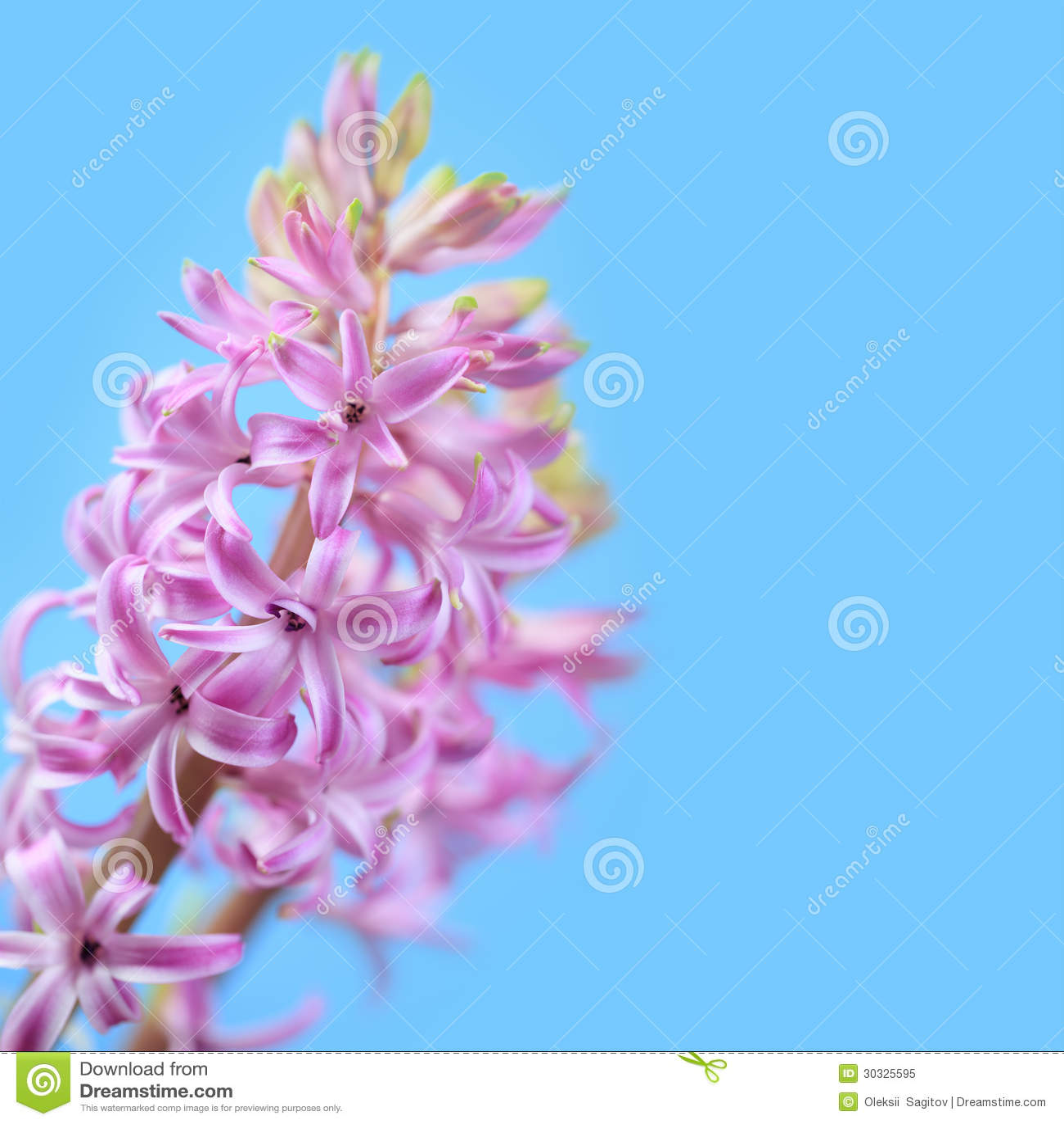 Download 桃红色风信花 库存图片. 图片 包括有 绽放, 浪漫, beautifuler, 工厂, 本质, 新鲜, 花卉 - 30325595