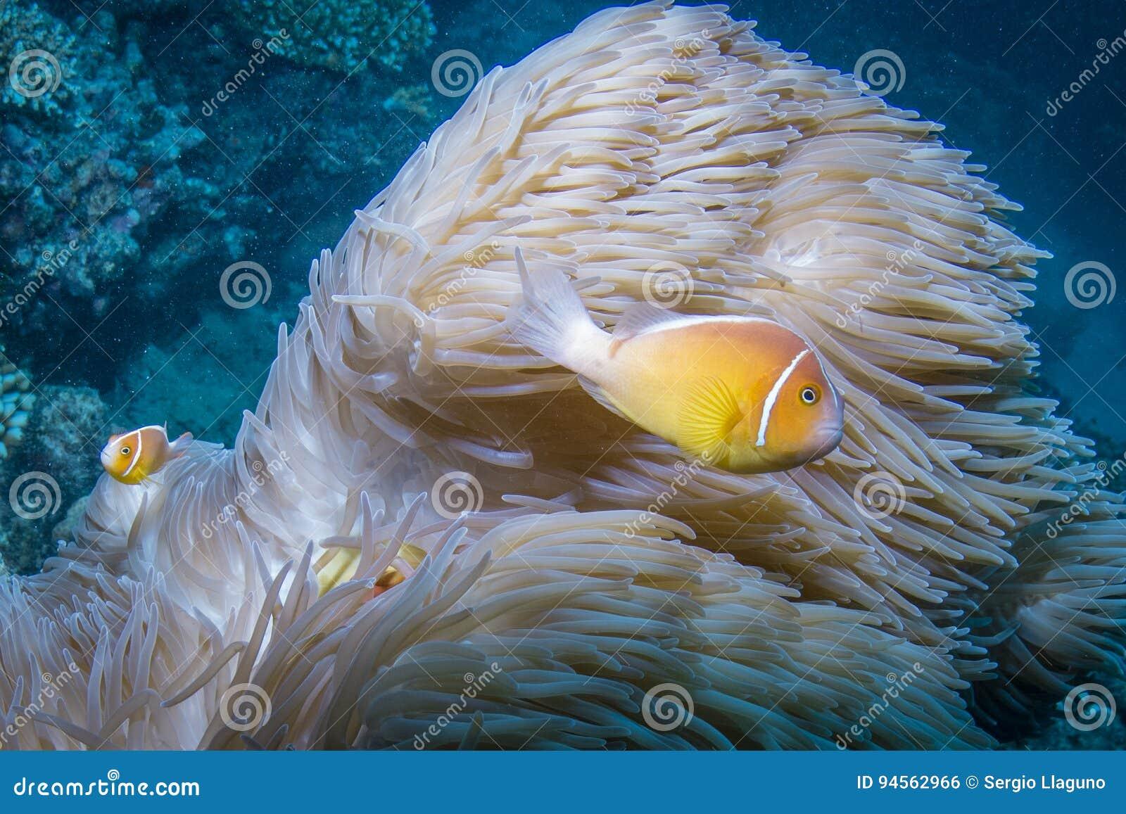 桃红色Anemonefish