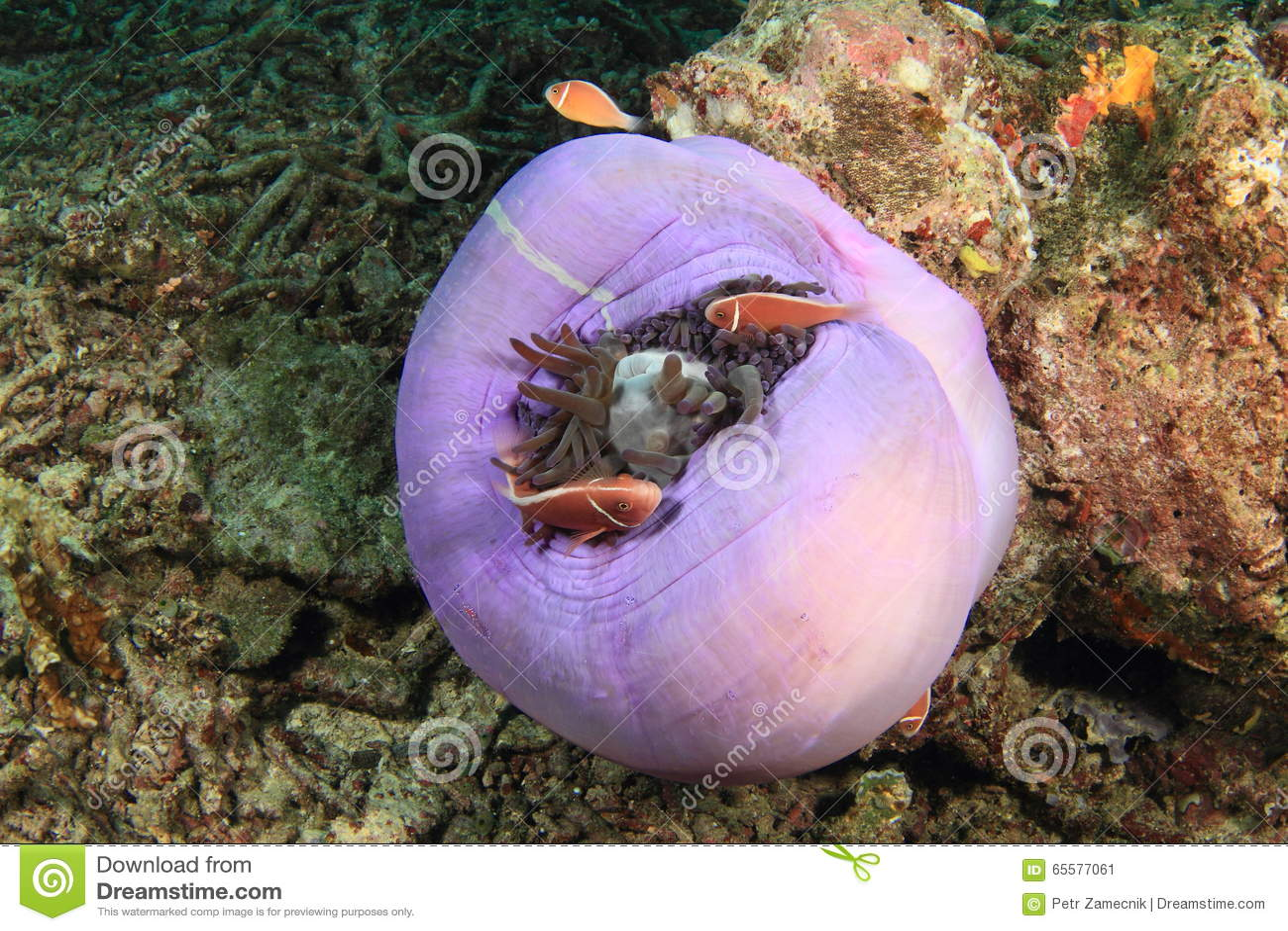 桃红色anemonfish