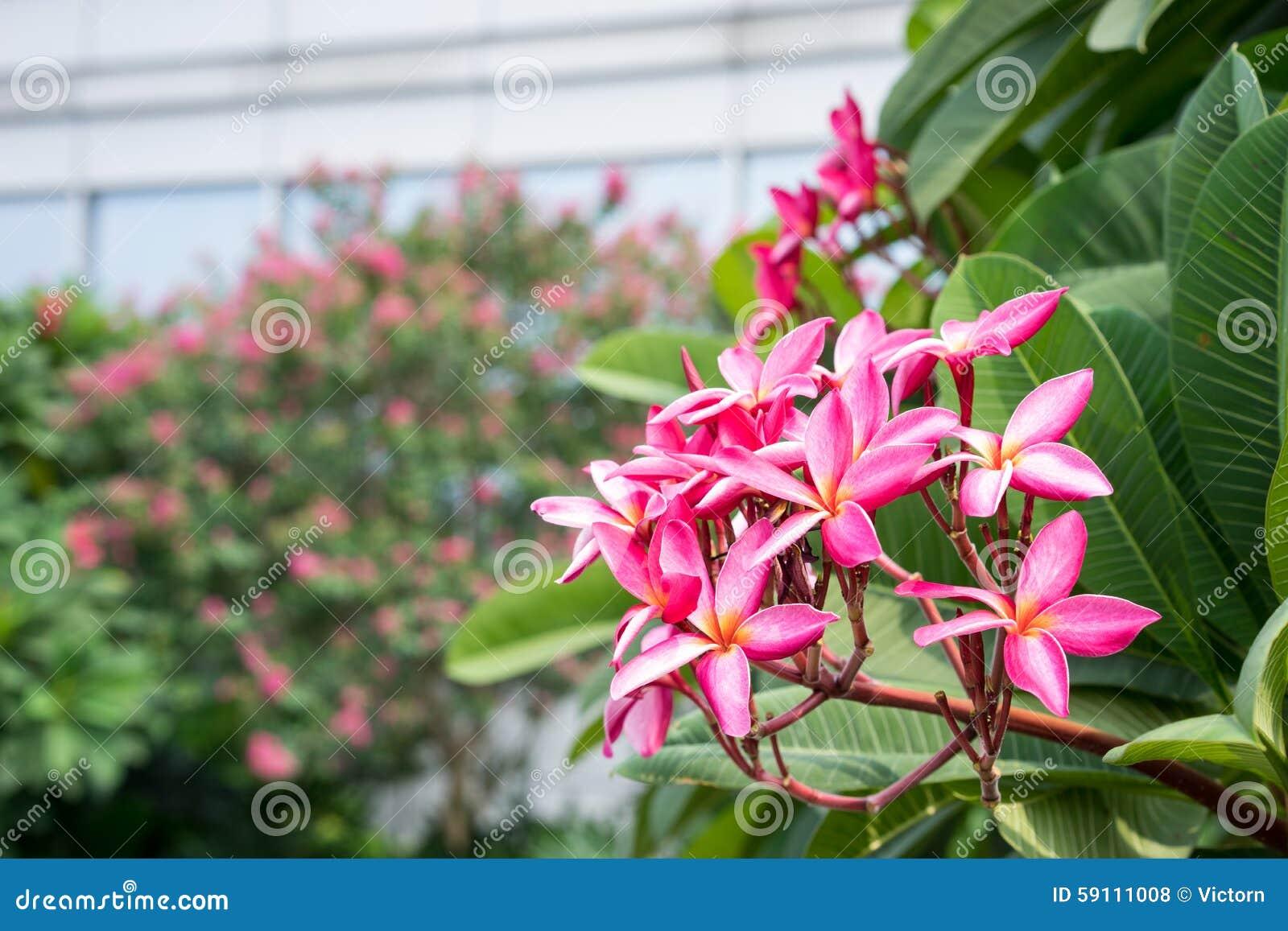 桃红色frangipane花