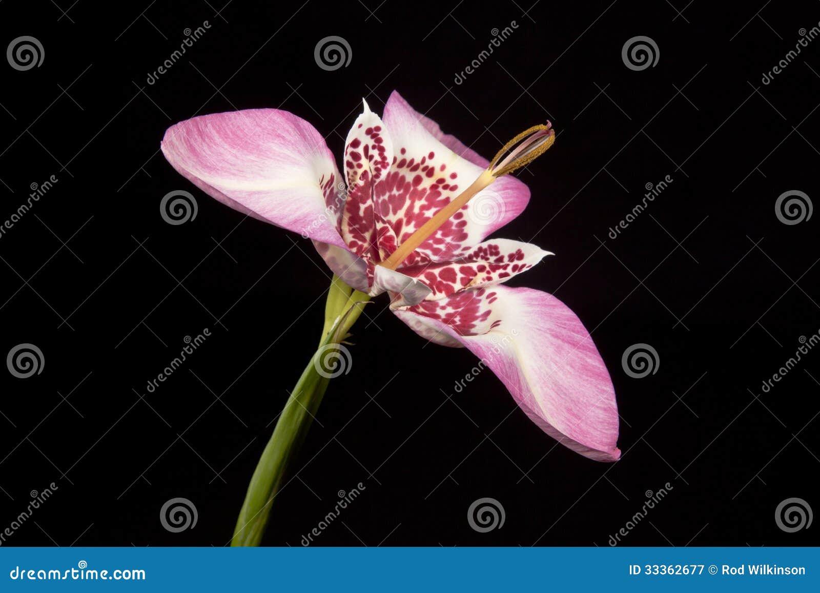 桃红色tigridia花