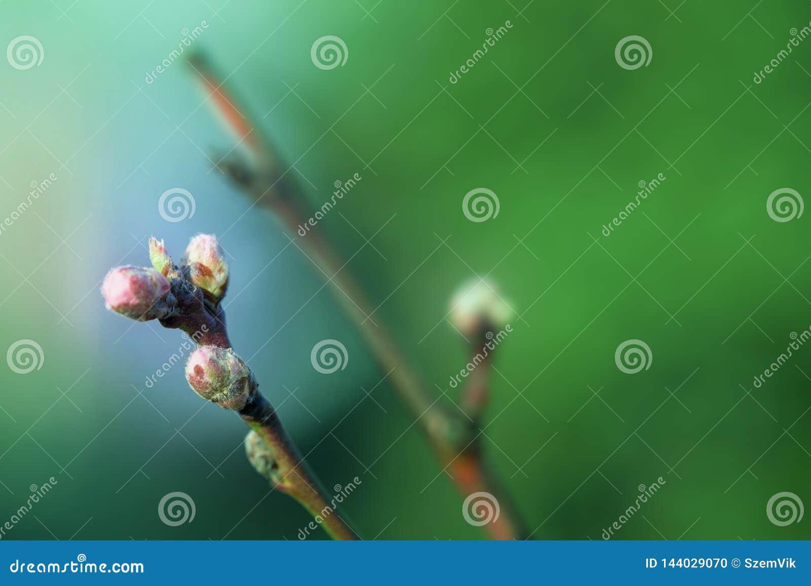 桃花在晴朗的早期的春天庭院里