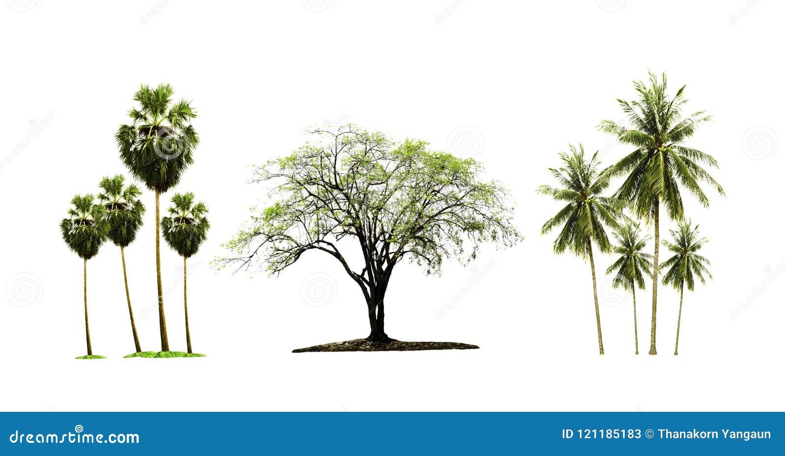 桄榔树和椰子树和在白色背景隔绝的印地安枣树