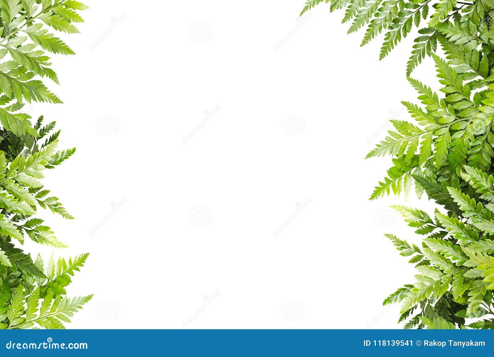 框架的绿色叶子在白色背景,自然边界