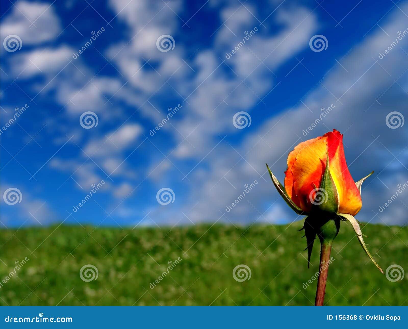 桔子玫瑰黄色