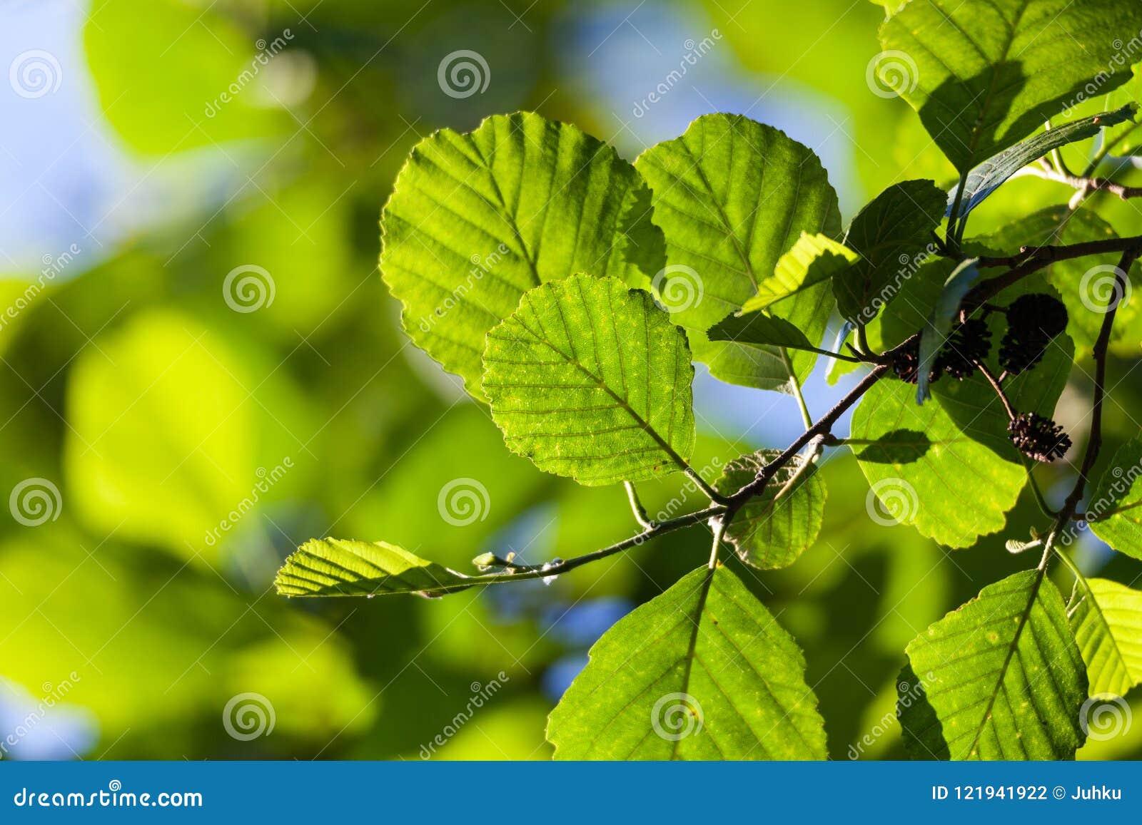 桤木叶子在阳光下
