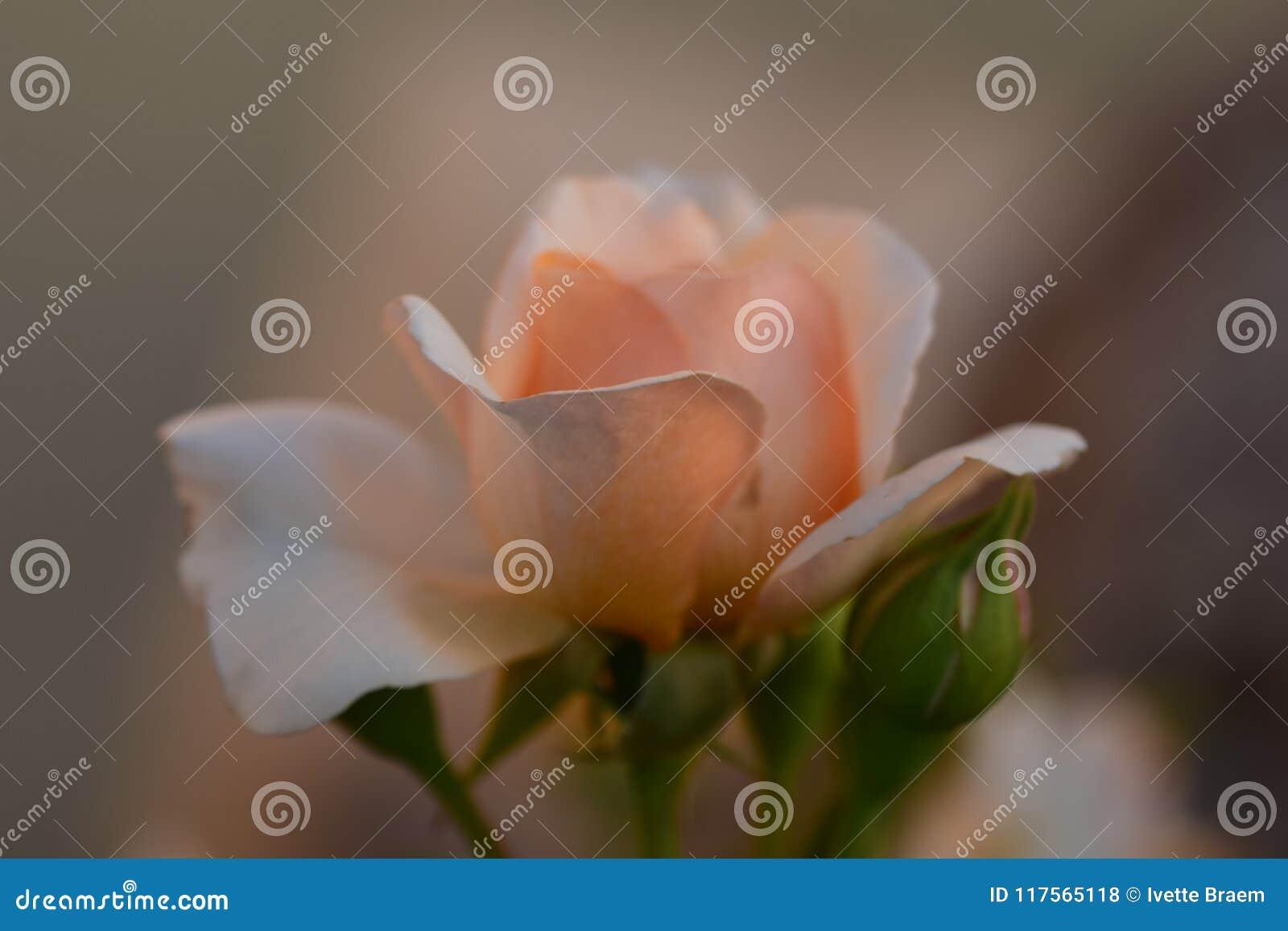 梦想的玫瑰被爱是爱