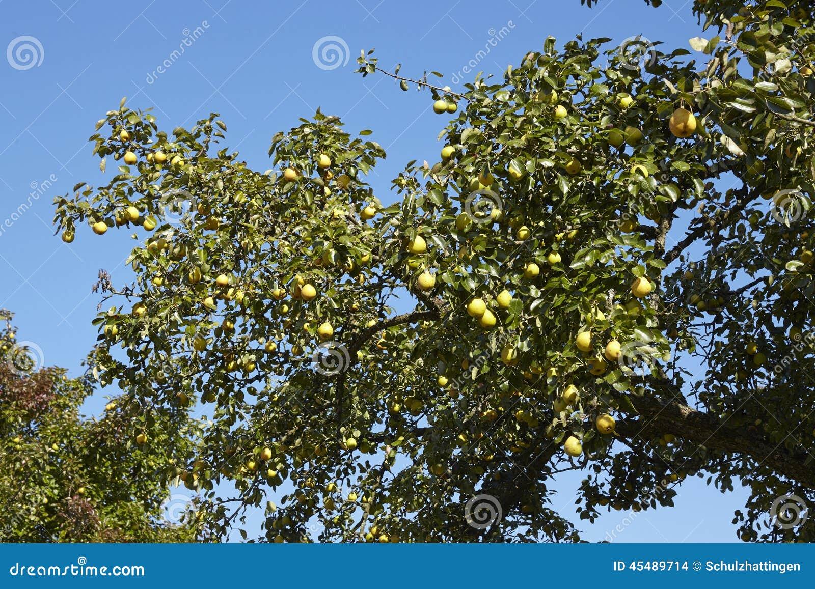 洋梨树-洋梨树的分支