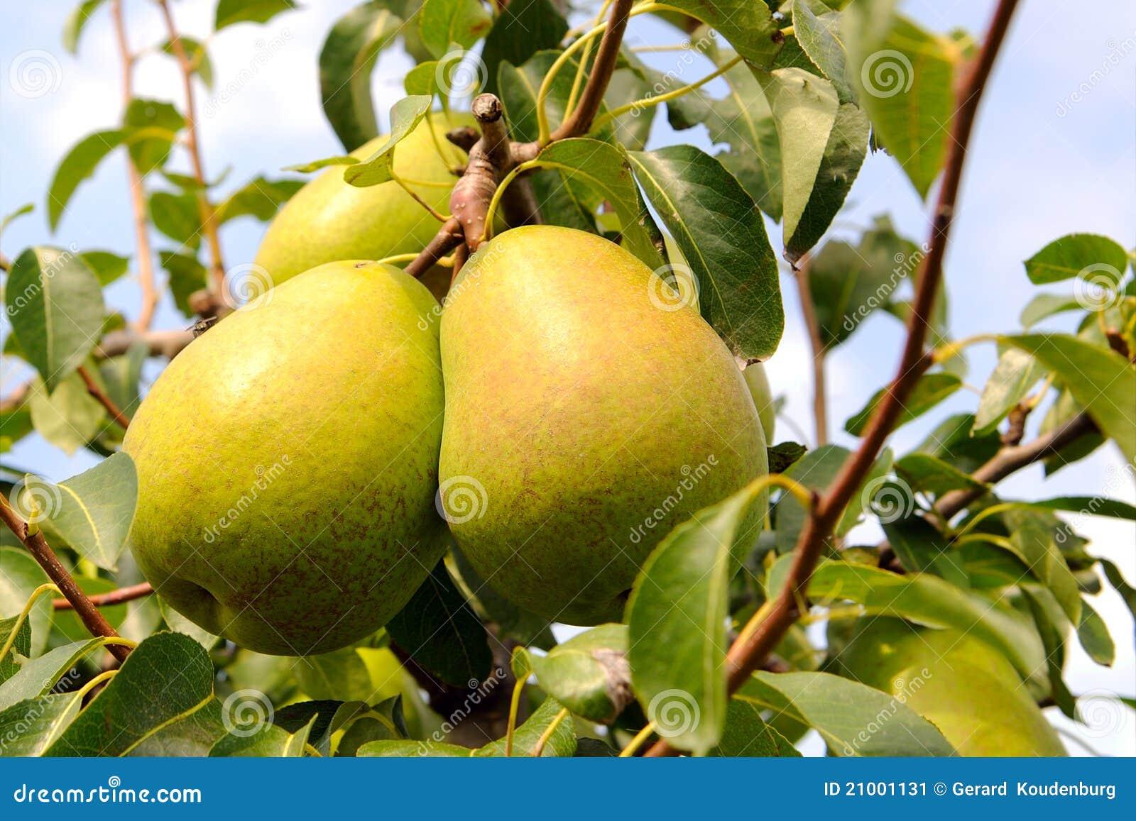 梨洋梨树黄色