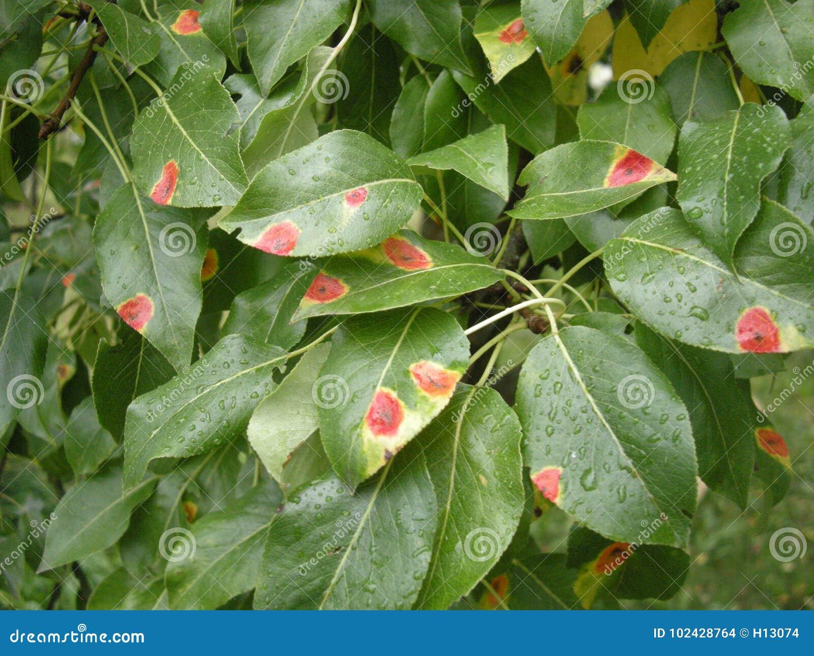 梨铁锈Gymnosporangium在洋梨树的sabinae疾病生叶