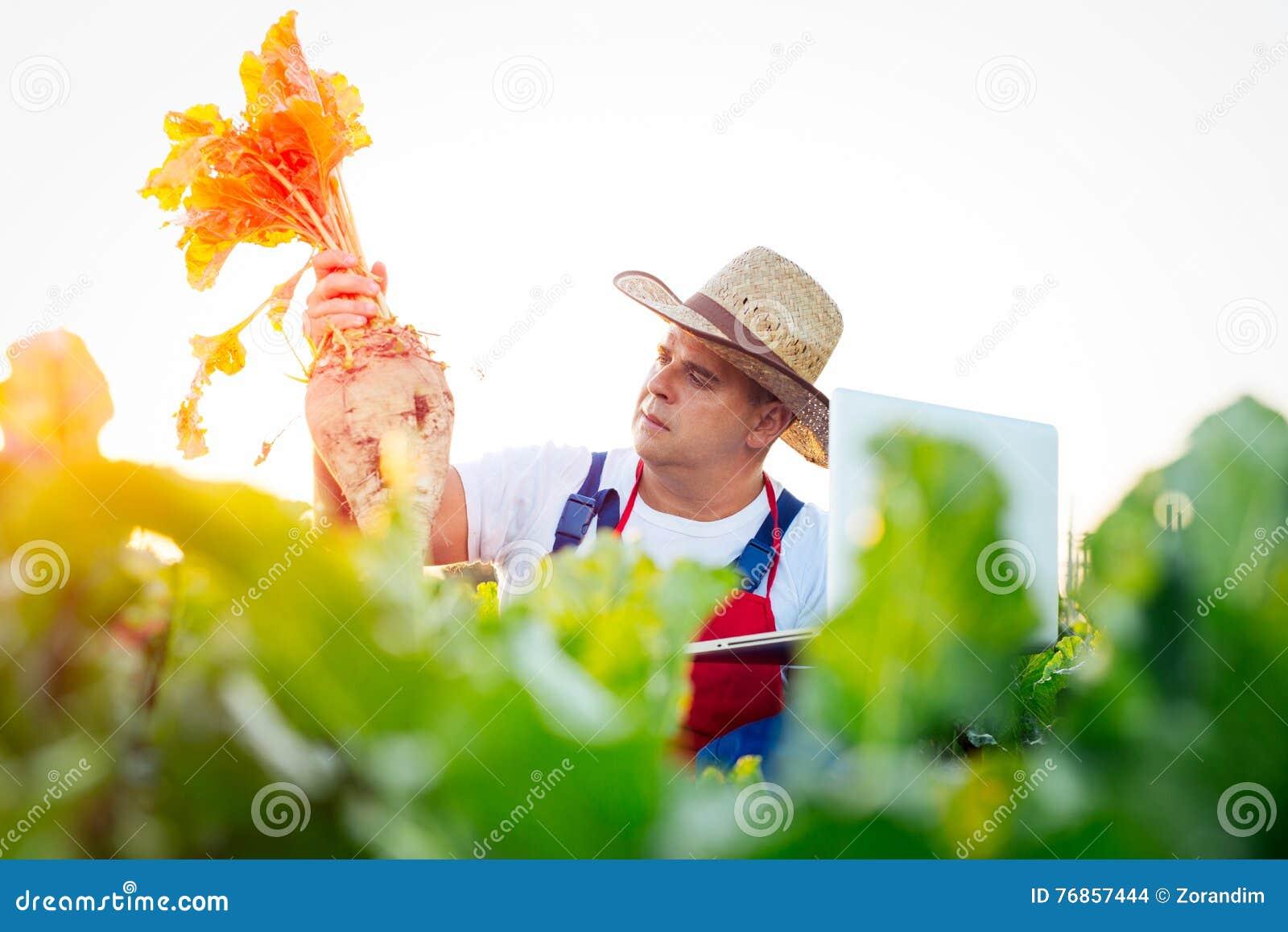 检查甜菜的质量的农夫