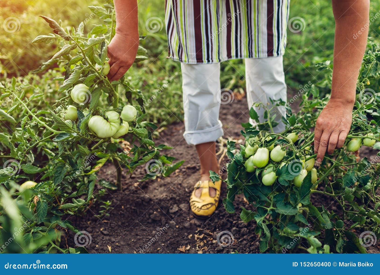 检查绿色蕃茄的资深妇女农夫生长在农场 种田,从事园艺的概念