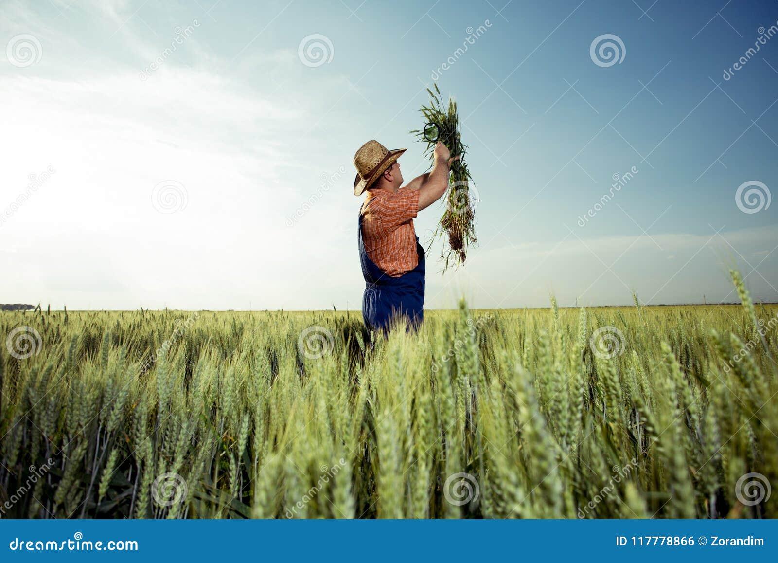 检查麦子的质量的农夫与放大镜