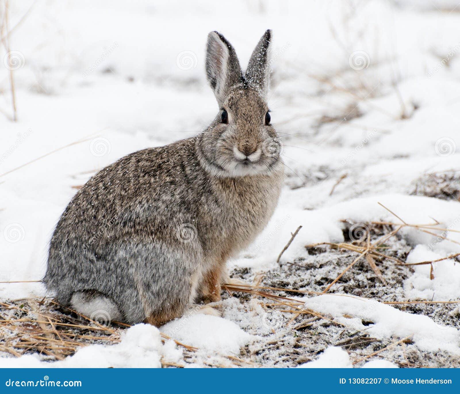 棉尾兔山雪