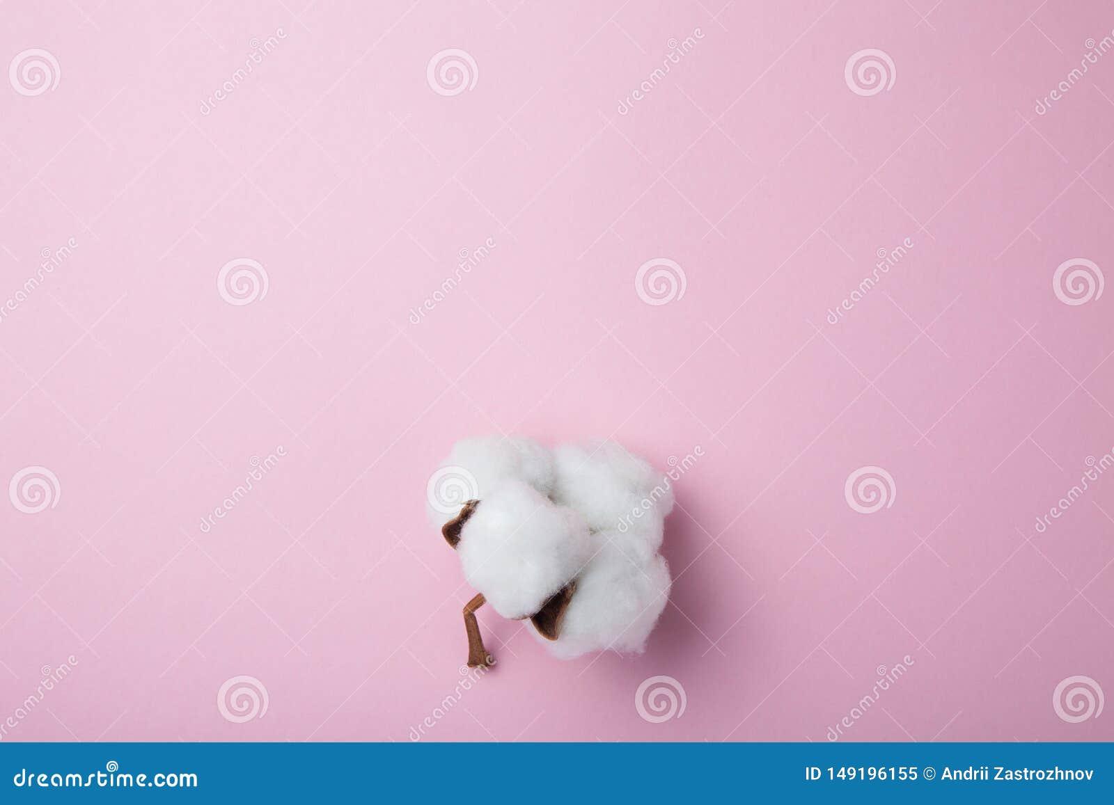棉花一朵精美干燥有机花在桃红色背景的 o