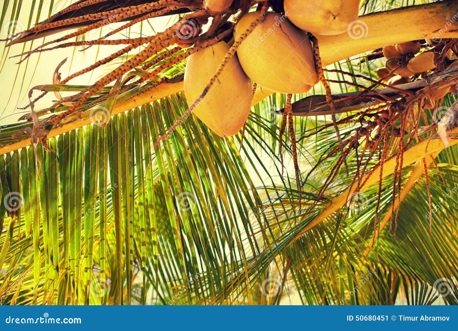Download 棕榈分支 库存图片. 图片 包括有 brander, 果子, 叶子, 颜色, 成熟, 原始, 室外, 椰子 - 50680451