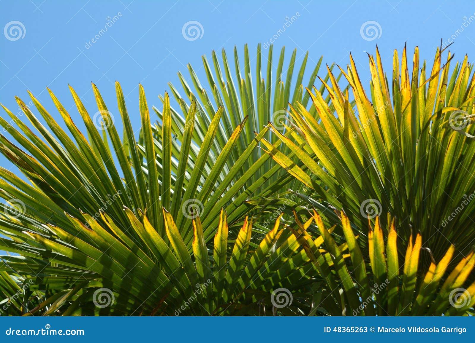 棕榈树的绿色叶子的纹理.图片