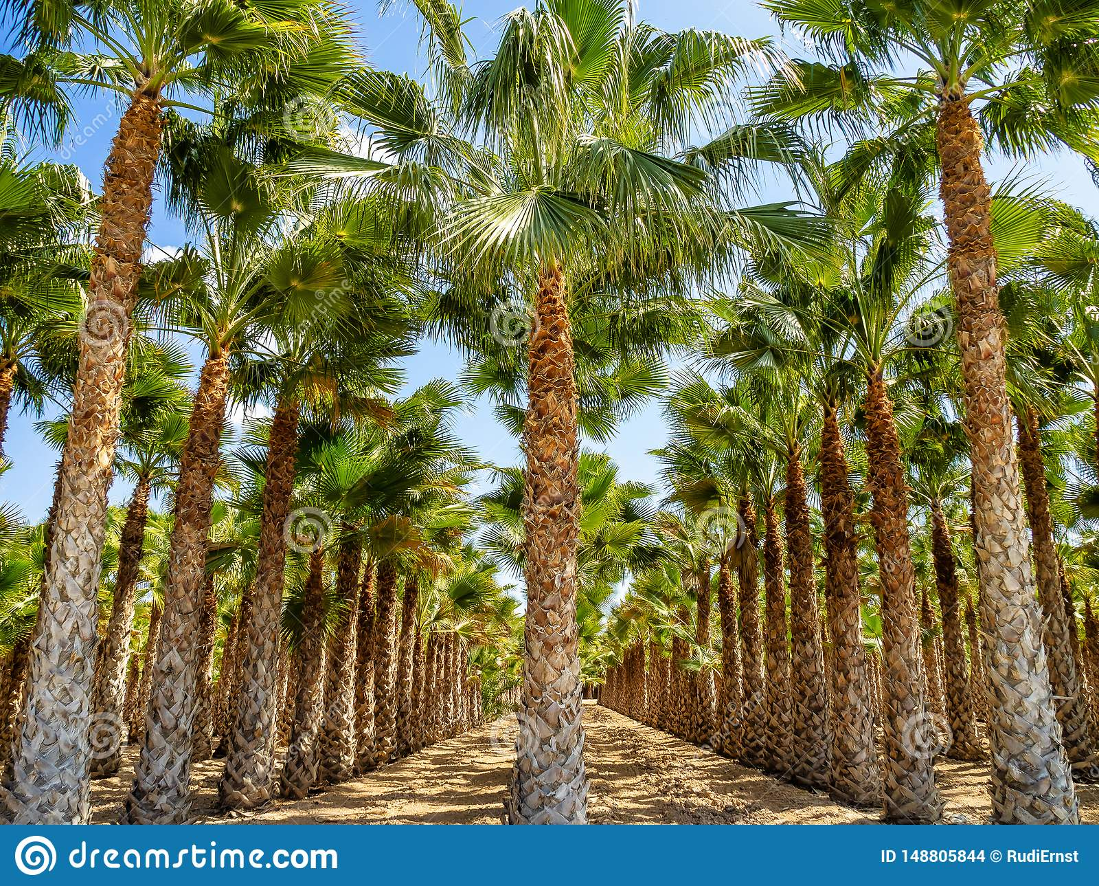 棕榈树丛,Palmeral在阿利坎特附近的埃尔切在西班牙